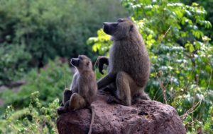 Baboon High Quality Wallpapers