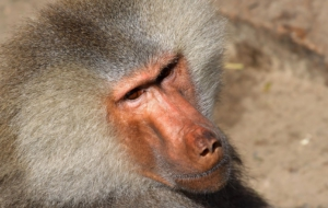 Baboon Images
