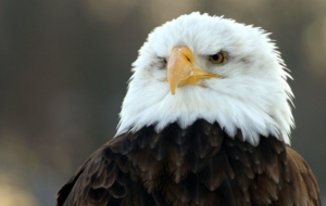 Bald Eagle Desktop