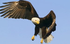 Bald Eagle Desktop Images