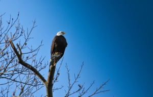 Bald Eagle Download