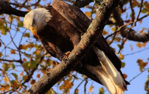 Bald Eagle Free Download