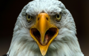 Bald Eagle High Definition