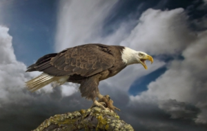 Bald Eagle For Desktop