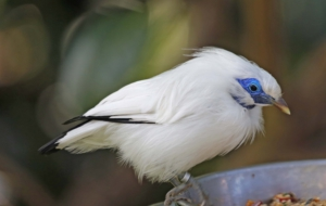 Bali Myna High Definition Wallpapers