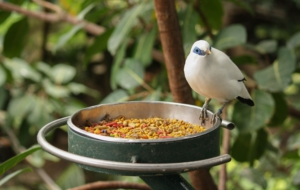 Bali Myna Pictures