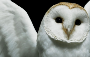 Barn Owl Background