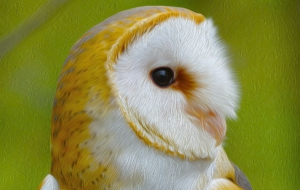 Barn Owl Computer Backgrounds