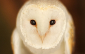Barn Owl Desktop Images