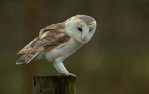 Barn Owl Desktop Wallpaper