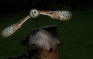 Barn Owl Download Free Backgrounds HD