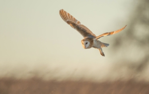 Barn Owl Free Download
