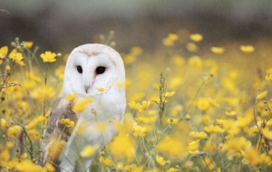 Barn Owl Free HD Wallpapers