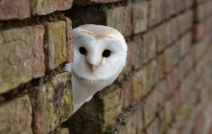 Barn Owl For Desktop