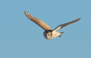Barn Owl For Desktop Background