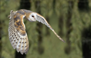 Barn Owl Full HD