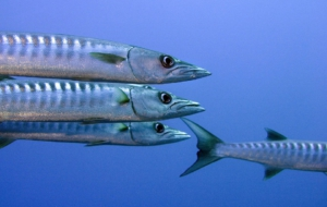 Barracuda High Definition Wallpapers
