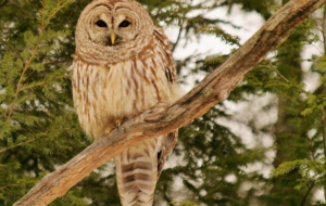 Barred Owl Computer Wallpaper