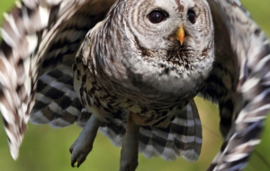 Barred Owl Desktop