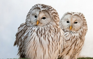 Barred Owl HD