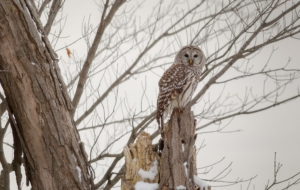 Barred Owl High Definition Wallpapers