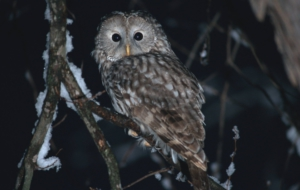 Barred Owl High Quality Wallpapers