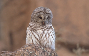 Barred Owl For Desktop