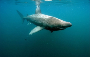 Basking Shark Background
