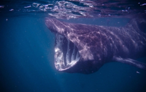 Basking Shark HD Desktop