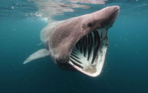 Basking Shark HD Wallpaper