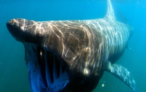 Basking Shark High Definition Wallpapers