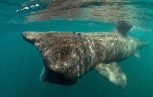 Basking Shark Images