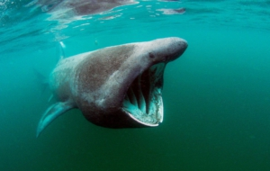Basking Shark Wallpapers
