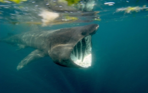 Basking Shark Wallpapers HD