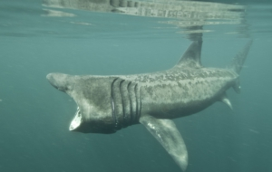 Basking Shark Widescreen