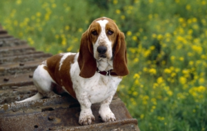Basset Hound Photos