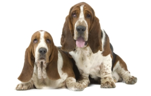 Basset Hound Wallpapers
