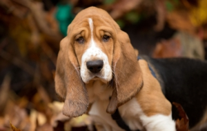 Basset Hound Full HD