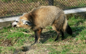 Bat Eared Fox HD Background