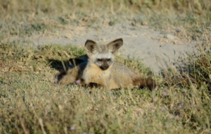 Bat Eared Fox HD Wallpaper