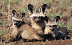 Bat Eared Fox High Definition Wallpapers