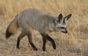 Bat Eared Fox High Quality Wallpapers