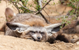Bat Eared Fox Images