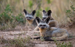 Bat Eared Fox Wallpaper