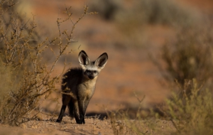 Bat Eared Fox Wallpapers