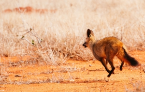 Bat Eared Fox Widescreen