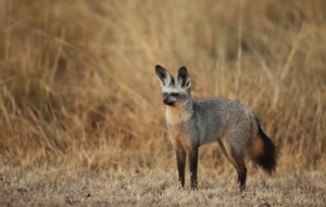 Bat Eared Fox For Desktop