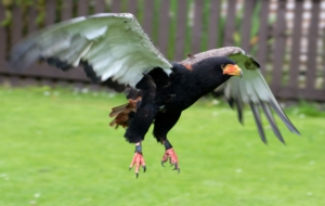 Bateleur HD Background