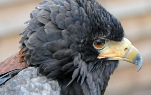Bateleur HD Wallpaper