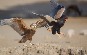 Bateleur High Definition Wallpapers